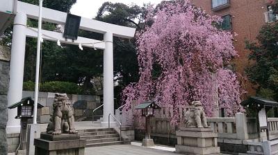 sakura 乃木神社.jpg