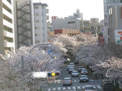 桜左横.jpg
