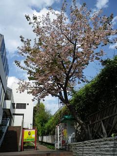 yo 入り口桜.jpg
