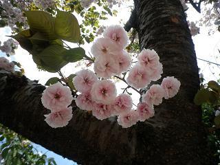 yosiko 桜 アップ小.jpg